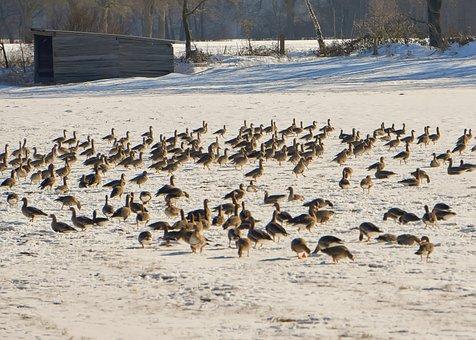 Geese, Birds, Winter, Frost, Snow, Ice, Frozen