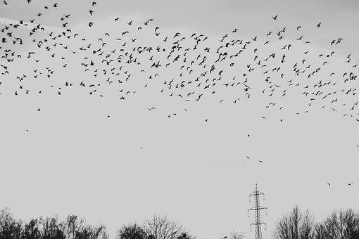 Black And White, Birds, White, Black, Animal, Blackbird