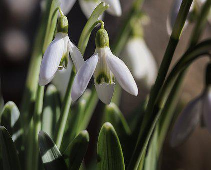 Snowdrop, Blossom, Bloom, Spring, Early Bloomer