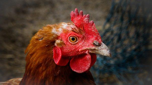 Chicken, Hen, Animals, Bird, Poultry, Livestock