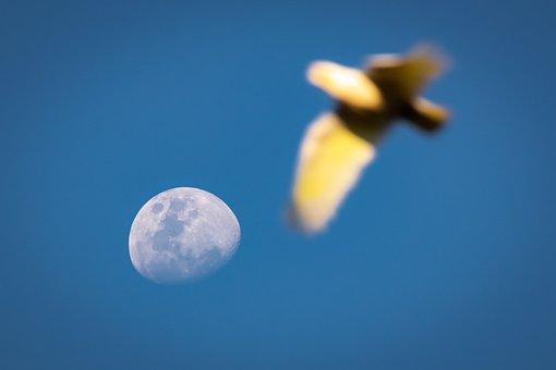 Moon, Cockatoo, Sulphur, Sky, Space, Bird, Australia