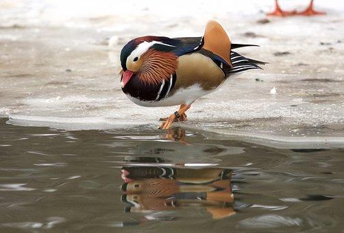 Mandarinand, Beautiful, Colorful, Bird, Plumage, Lake