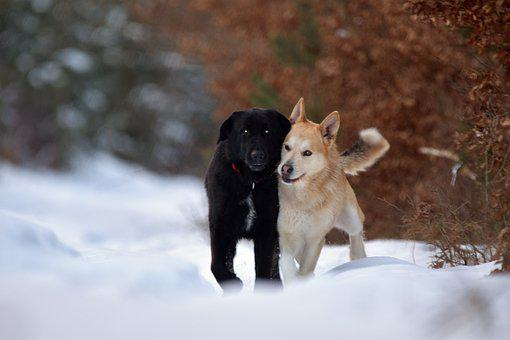 Dogs, Canines, Snow, Playful, Cuddle, Friendship