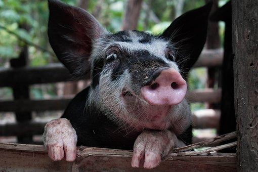 Pig, Happy, Pigs, Farm, Cute, Animal, Piggy, Piglet