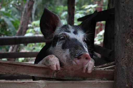 Pig, Sad, Animal, Fat, Farm, Pigs, Dirty, Piggy, Sweet