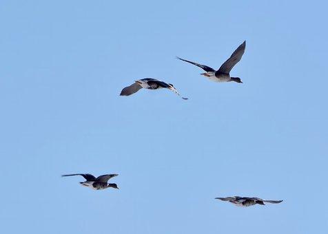 Wild Geese, Flight, Birds, Fly, Flying Birds