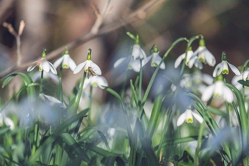 Snowdrop, Harbinger Of Spring, Bloom, Nature, Flower