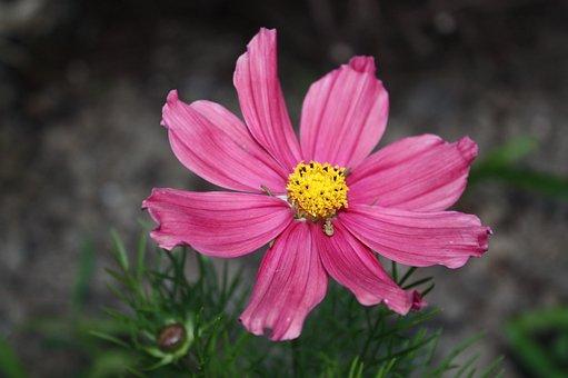 Pink, Flower, Cosmos, Wildflower, Petals, Pink Petals