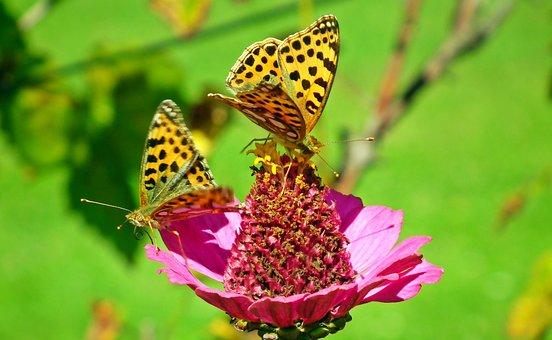 Butterflies, Flower, Zinnia, Petals
