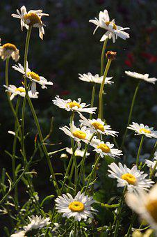 Daisy, Flowers, Plant, White Flowers, Bloom, Blossom
