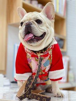 French Bulldog, Dog, Pet, Animal, Cute, Bulldog, Puppy