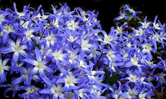 Glory-of-the-snow, Flowers, Plant, Blue Flowers, Bloom