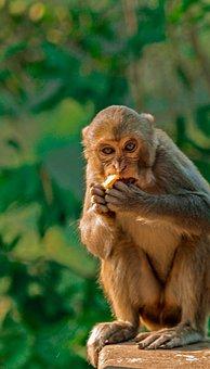 Monkey, Animal, Mammal, Primate, Zoo, Chimpanzee
