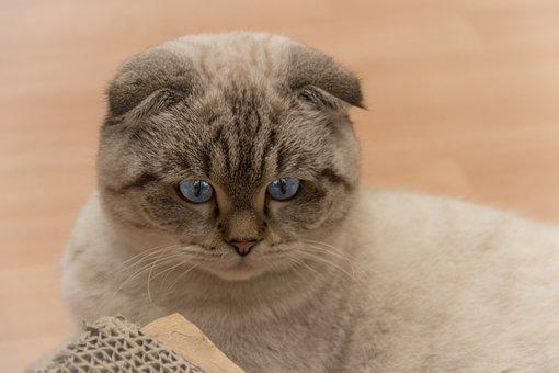 Scottish Fold-eared Cat, Cat, Pet, Scottish Fold