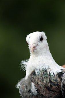 Pigeon, Dove, Bird, Feathers, Plumage, Head, Portrait
