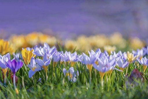 Crocus, Bloom, Colorful, Purple, Violet, Yellow