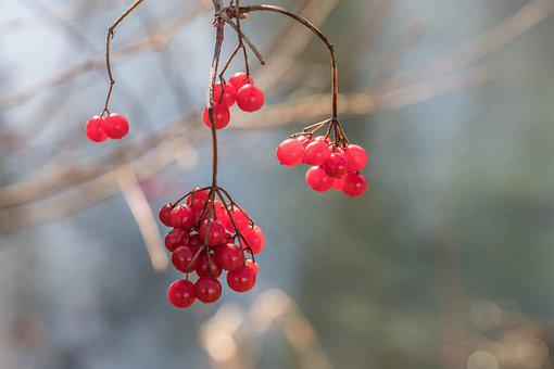 Berries, Bush, Elder, Branch, Red, Healthy