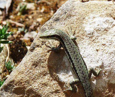Lizard, Rock, Heat, Reptile, Animals, Nature, Stone