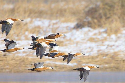 Rust Geese, Geese, Flight, Flock, Flying Birds