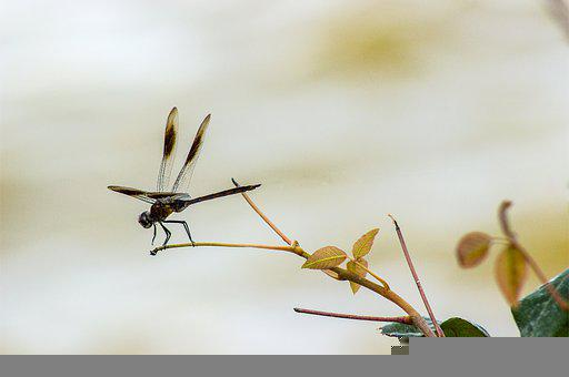Dragonfly, Nature, Insect, Biology, Animal, Summer
