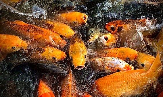 Koi Carp, Fish, Carp, Japanese, Koi, Swim, Red, Pond