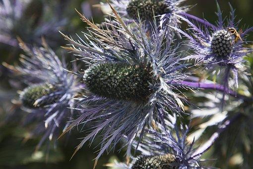 Plant, Thistle, Alpine, Switzerland
