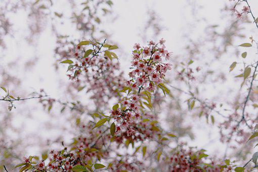 Cherry, Blossom, Spring, Sakura, Tree, Nature, Flowers