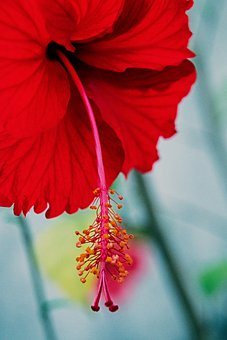 Hibiscus, Flower, Tropical, Bloom, Blossom, Floral