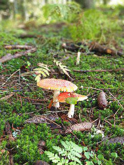Mushrooms, Fly Agaric, Forest, Walk In The Forest