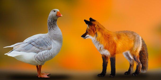 Goose, Red Fox, Animals, Bird, Waterfowl, Water Bird
