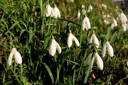 Scilles, Flowers, White Color, Bells, Bulbous Plants