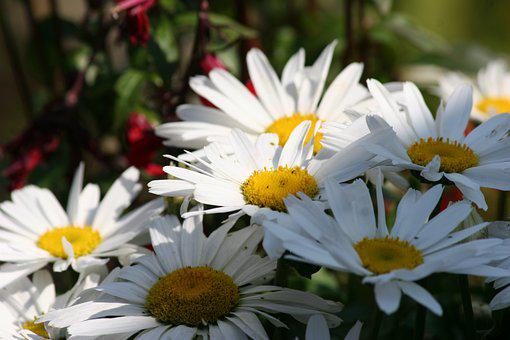Daisies, Flowers, Plant, Petals, White Flowers, Bloom