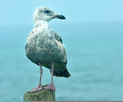 Seagull, Gulls, Young, Western Gull, Youth, Plumage