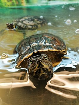 Turtle, Tortoise, Shell, Reptile, Armored, Water Turtle