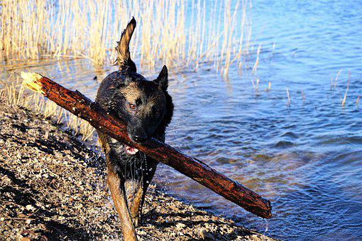 Belgian Malinois, Stick, Water, Pet, Dog, Action