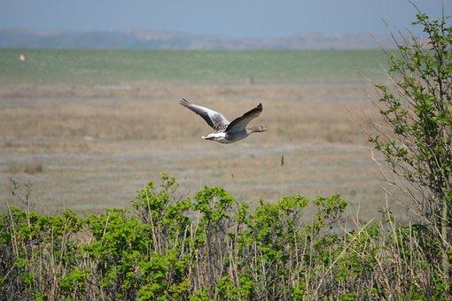 Nature, Greylag Goose, Goose, Poultry, Bird, Wild Goose