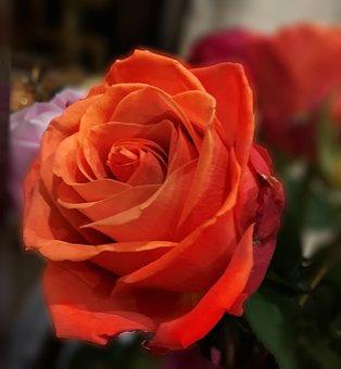 Orange, Rose, Color, Flower, Blossom, Single, Romantic