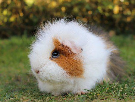 Guinea Pig, Pet, Rodent, Motley Colors, Coat, Soft