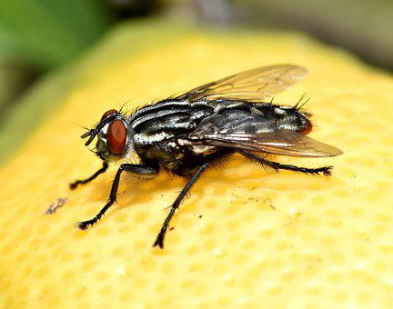 Insect, Fly, Garden, Compound Eye, Pest