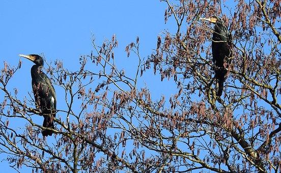 Cormorants, Birds, Observation, Herd
