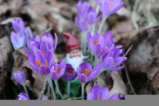 Crocuses, Crocus, Forest, Spring, Outdoor, Gnome
