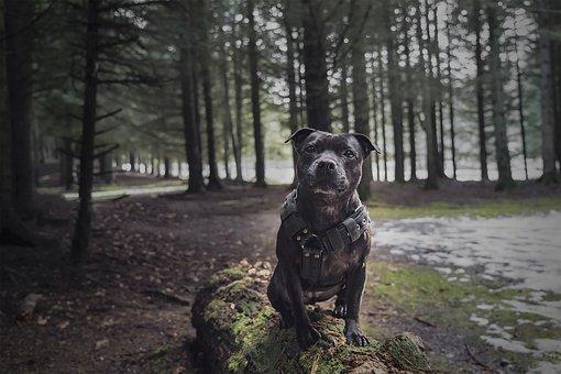 Staffordshire Bullterrier, Dog, Staffie, Staffy, Pet