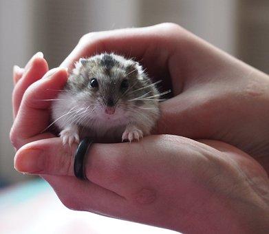 Hamster, Dzsungáriai Dwarf Hamster, Pet, Rodent