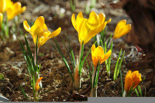 Crocus, Yellow, Early Bloomer, Spring, Nature, Flowers