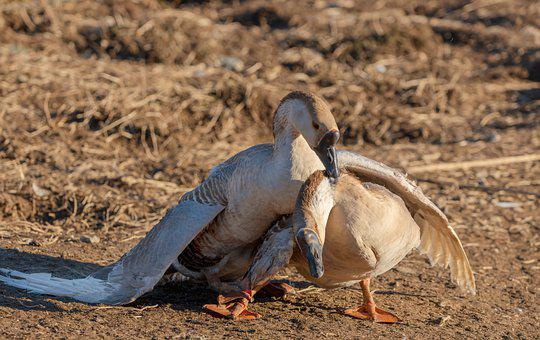 Grey Geese, Geese, Pairing, Balz, Poultry, Feather