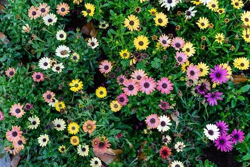 Spring, Chrysanthemum, Flower