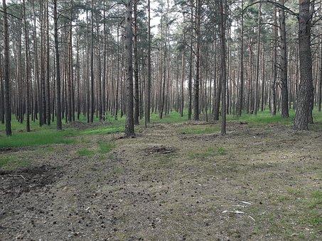 Forest, Bush, Fruit, Nature, Jagoda, Tree, Pine
