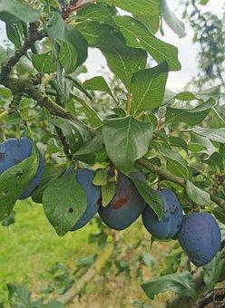 Plum, Plums, Fruit, Fruit Tree, Vitamins, Plum Tree