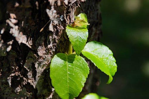 Plant, Liana, Nature, Hydrangea, Petiolate, Green