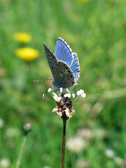 Blue Butterfly, Butterfly, Flower, Insect, Animal